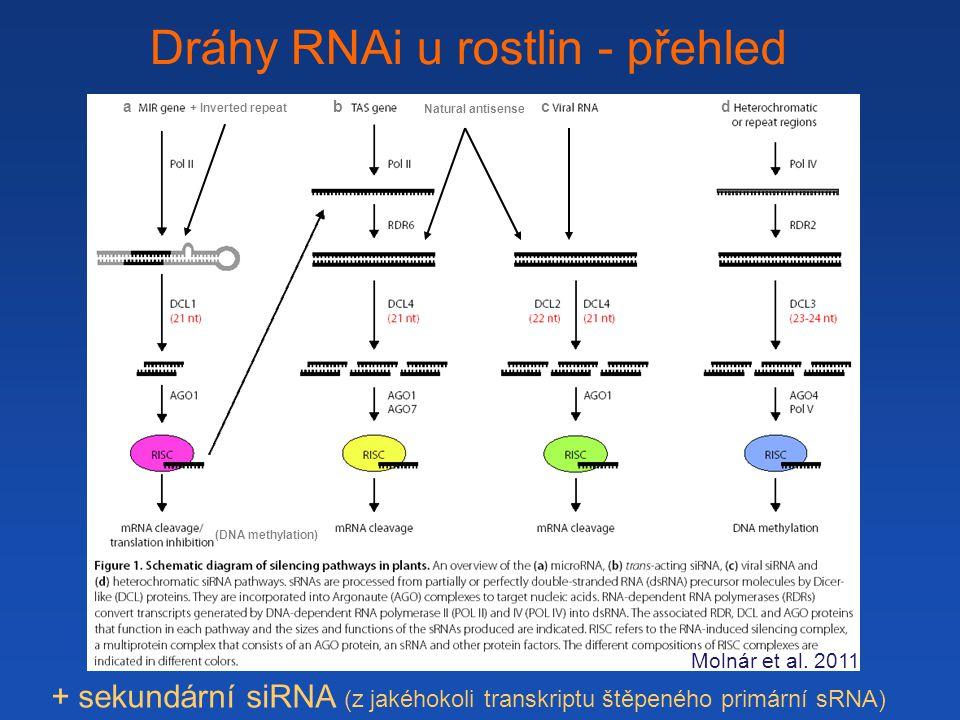 Dráhy RNAi u rostlin - přehled Natural antisense + Inverted repeat Molnár et al.