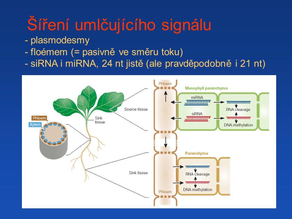 Šíření umlčujícího signálu - plasmodesmy - floémem (= pasivně ve směru toku) - siRNA i miRNA, 24 nt jistě (ale pravděpodobně i 21 nt)