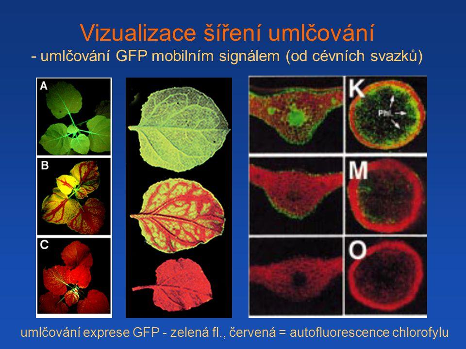 Vizualizace šíření umlčování - umlčování GFP mobilním signálem (od cévních svazků) umlčování exprese GFP - zelená fl., červená = autofluorescence chlorofylu