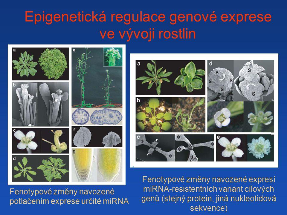Epigenetická regulace genové exprese ve vývoji rostlin Fenotypové změny navozené potlačením exprese určité miRNA Fenotypové změny navozené expresí miRNA-resistentních variant cílových genů (stejný protein, jiná nukleotidová sekvence)