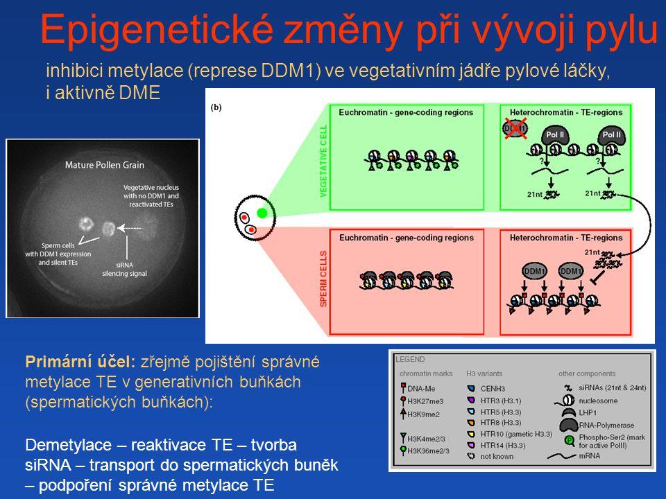 Epigenetické změny při vývoji pylu Primární účel: zřejmě pojištění správné metylace TE v generativních buňkách (spermatických buňkách): Demetylace – reaktivace TE – tvorba siRNA – transport do spermatických buněk – podpoření správné metylace TE inhibici metylace (represe DDM1) ve vegetativním jádře pylové láčky, i aktivně DME
