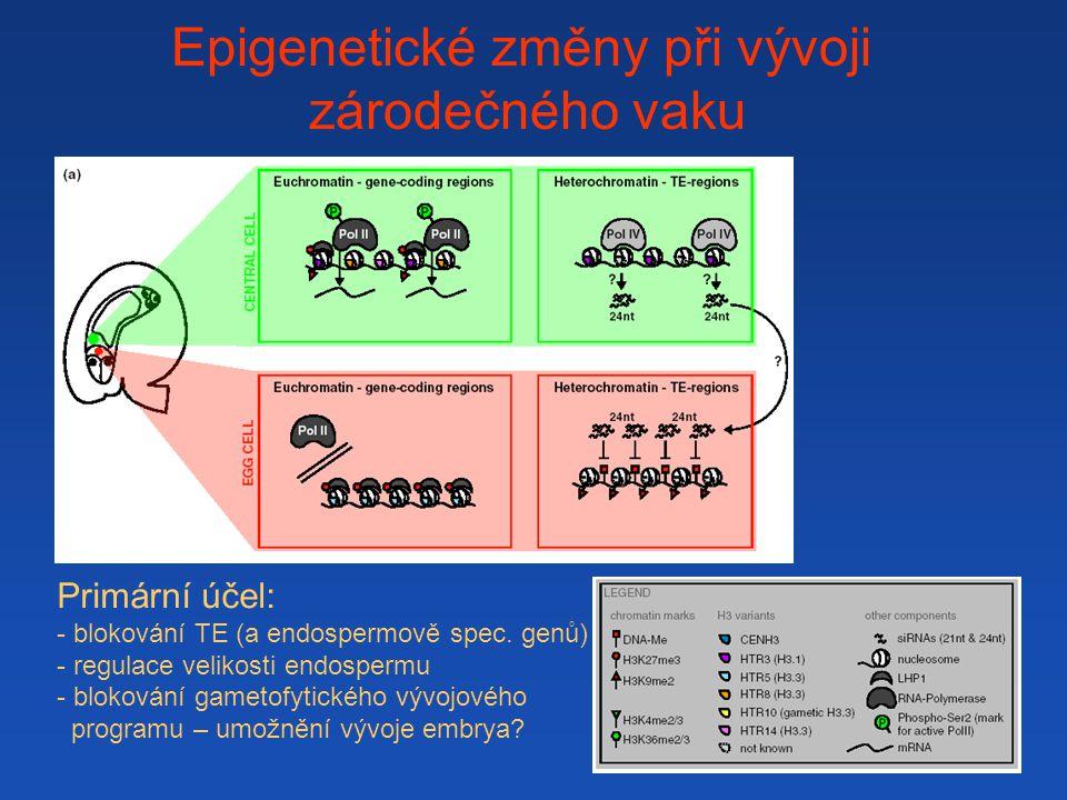 Epigenetické změny při vývoji zárodečného vaku Primární účel: - blokování TE (a endospermově spec.