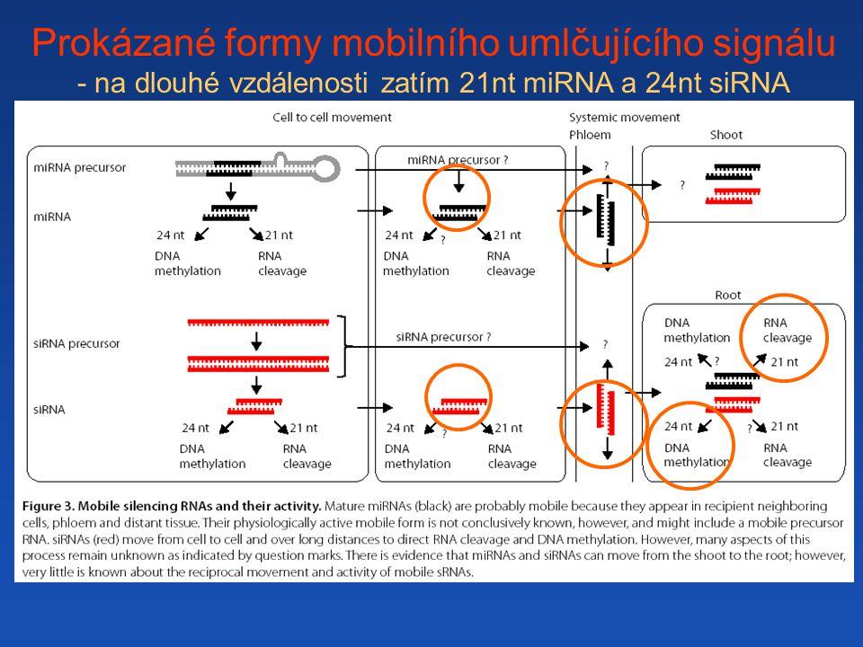 Prokázané formy mobilního umlčujícího signálu - na dlouhé vzdálenosti zatím 21nt miRNA a 24nt siRNA ?
