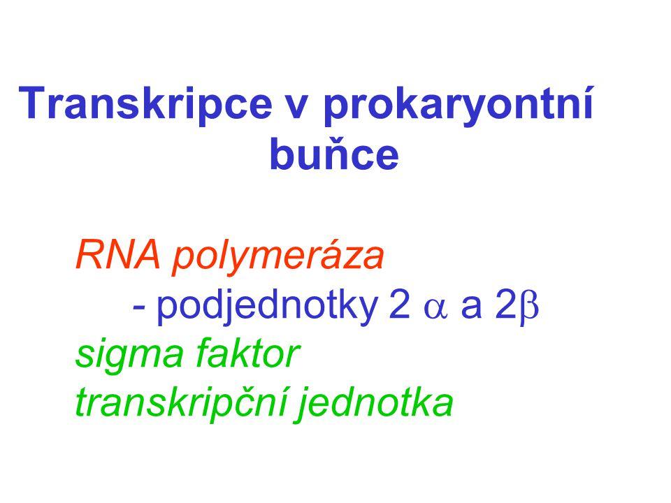 Transkripce v prokaryontní buňce RNA polymeráza - podjednotky 2  a 2  sigma faktor transkripční jednotka