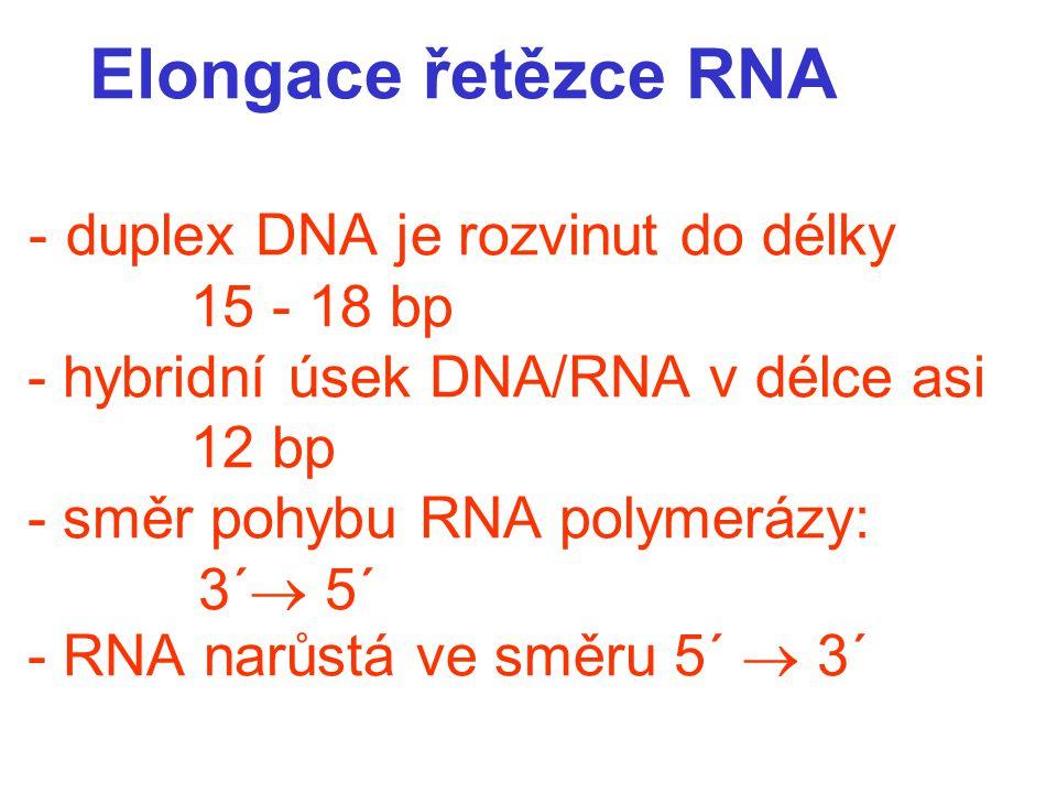 Elongace řetězce RNA - duplex DNA je rozvinut do délky 15 - 18 bp - hybridní úsek DNA/RNA v délce asi 12 bp - směr pohybu RNA polymerázy: 3´  5´ - RNA narůstá ve směru 5´  3´