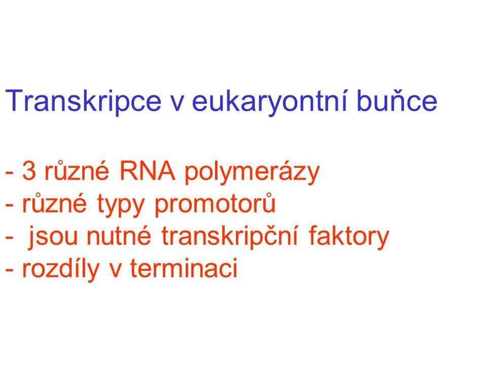 Transkripce v eukaryontní buňce - 3 různé RNA polymerázy - různé typy promotorů - jsou nutné transkripční faktory - rozdíly v terminaci