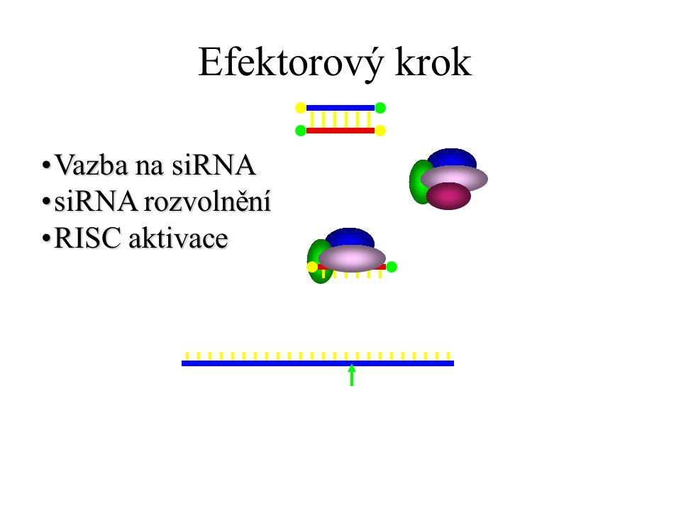 Efektorový krok Vazba na siRNAVazba na siRNA siRNA rozvolněnísiRNA rozvolnění RISC aktivaceRISC aktivace