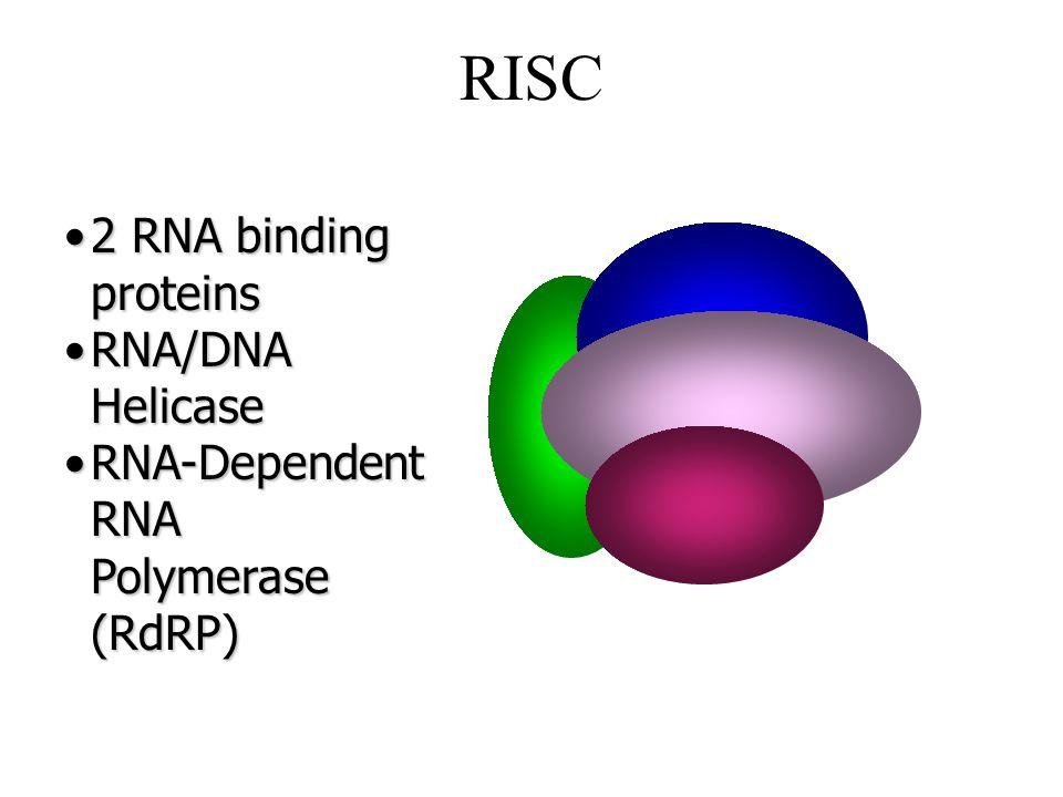 RISC 2 RNA binding proteins2 RNA binding proteins RNA/DNA HelicaseRNA/DNA Helicase RNA-Dependent RNA Polymerase (RdRP)RNA-Dependent RNA Polymerase (RdRP)