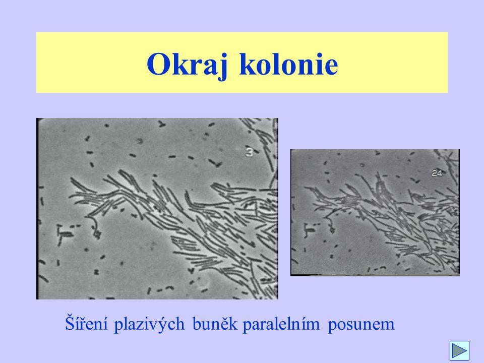 Okraj kolonie Šíření plazivých buněk paralelním posunem