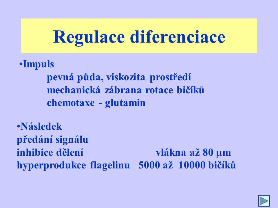 Regulace diferenciace Následek předání signálu inhibice dělení vlákna až 80  m hyperprodukce flagelinu 5000 až 10000 bičíků Impuls pevná půda, viskozita prostředí mechanická zábrana rotace bičíků chemotaxe - glutamin