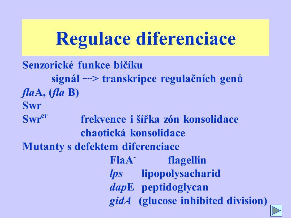 Regulace diferenciace Senzorické funkce bičíku signál ---- > transkripce regulačních genů flaA, (fla B) Swr - Swr cr frekvence i šířka zón konsolidace chaotická konsolidace Mutanty s defektem diferenciace FlaA - flagellin lps lipopolysacharid dapE peptidoglycan gidA (glucose inhibited division)