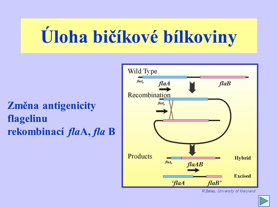 Úloha bičíkové bílkoviny Změna antigenicity flagelinu rekombinací flaA, fla B R.Belas, University of Maryland