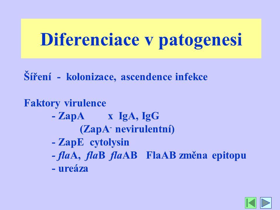 Diferenciace v patogenesi Šíření - kolonizace, ascendence infekce Faktory virulence - ZapA x IgA, IgG (ZapA - nevirulentní) - ZapE cytolysin - flaA, flaB flaAB FlaAB změna epitopu - ureáza