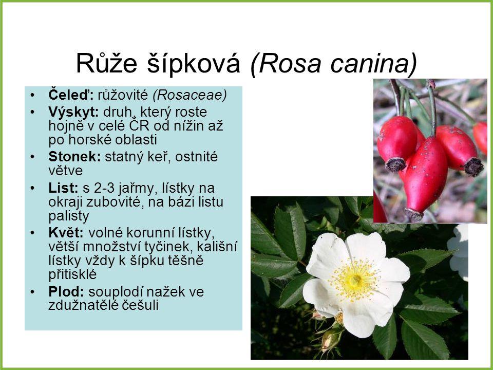 Růže šípková (Rosa canina) Čeleď: růžovité (Rosaceae) Výskyt: druh, který roste hojně v celé ČR od nížin až po horské oblasti Stonek: statný keř, ostn