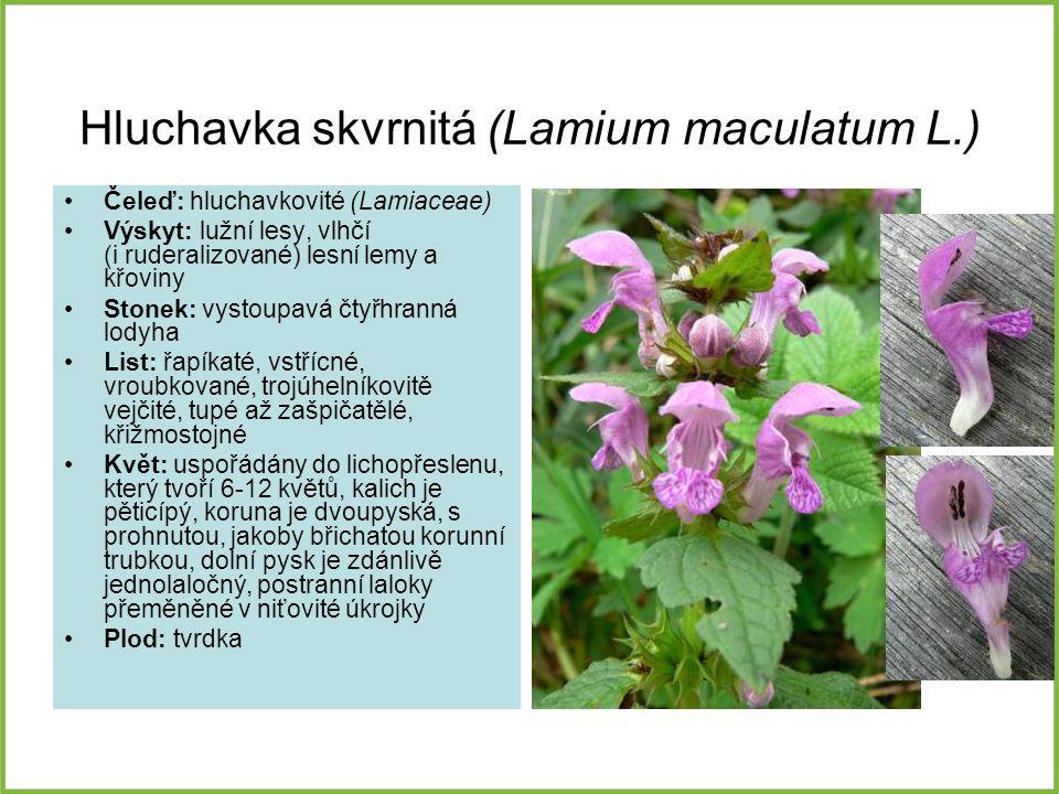Hluchavka skvrnitá (Lamium maculatum L.) Čeleď: hluchavkovité (Lamiaceae) Výskyt: lužní lesy, vlhčí (i ruderalizované) lesní lemy a křoviny Stonek: vy