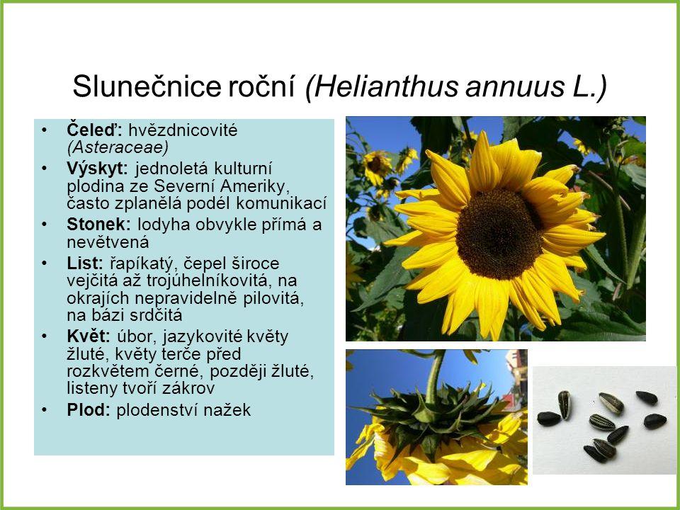 Slunečnice roční (Helianthus annuus L.) Čeleď: hvězdnicovité (Asteraceae) Výskyt: jednoletá kulturní plodina ze Severní Ameriky, často zplanělá podél