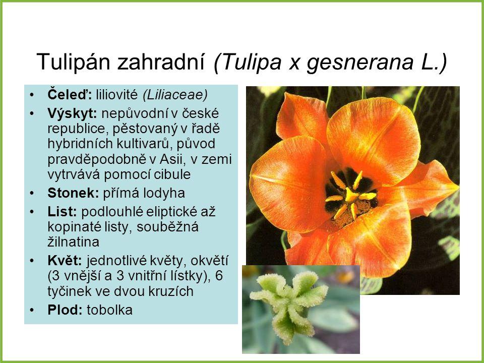 Tulipán zahradní (Tulipa x gesnerana L.) Čeleď: liliovité (Liliaceae) Výskyt: nepůvodní v české republice, pěstovaný v řadě hybridních kultivarů, půvo