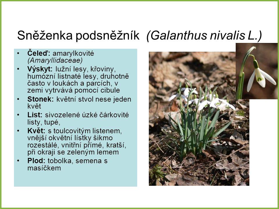 Sněženka podsněžník (Galanthus nivalis L.) Čeleď: amarylkovité (Amaryllidaceae) Výskyt: lužní lesy, křoviny, humózní listnaté lesy, druhotně často v l