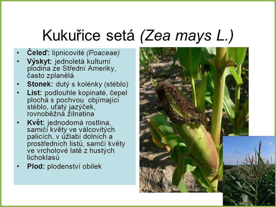 Kukuřice setá (Zea mays L.) Čeleď: lipnicovité (Poaceae) Výskyt: jednoletá kulturní plodina ze Střední Ameriky, často zplanělá Stonek: dutý s kolénky