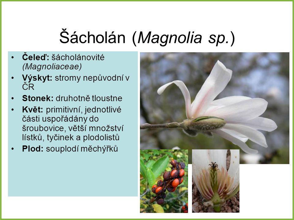 Šácholán (Magnolia sp.) Čeleď: šácholánovité (Magnoliaceae) Výskyt: stromy nepůvodní v ČR Stonek: druhotně tloustne Květ: primitivní, jednotlivé části