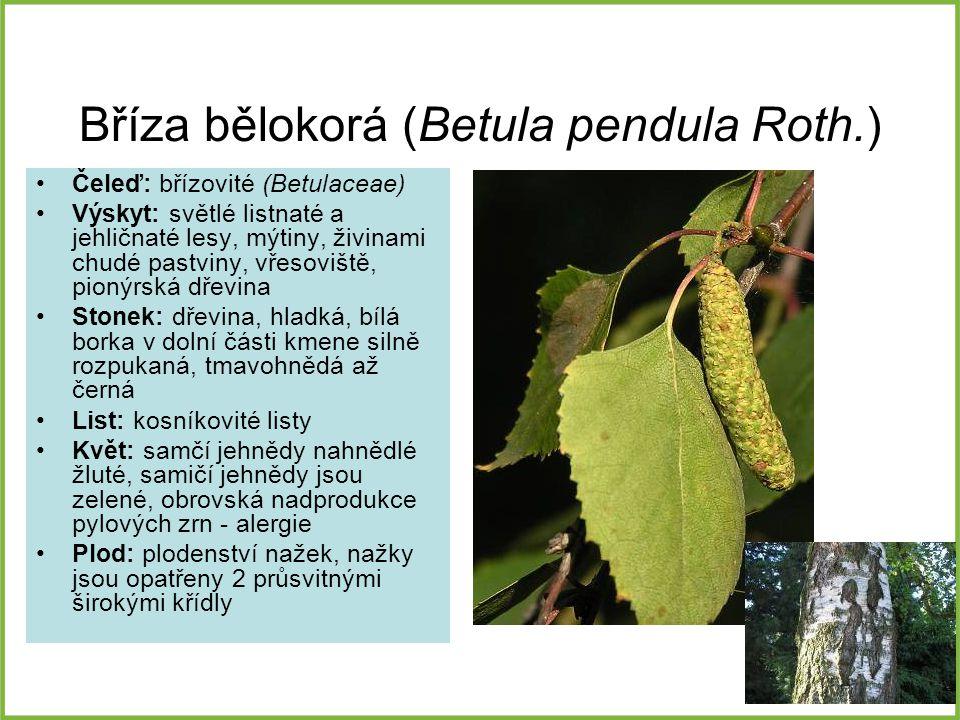 Bříza bělokorá (Betula pendula Roth.) Čeleď: břízovité (Betulaceae) Výskyt: světlé listnaté a jehličnaté lesy, mýtiny, živinami chudé pastviny, vřesov