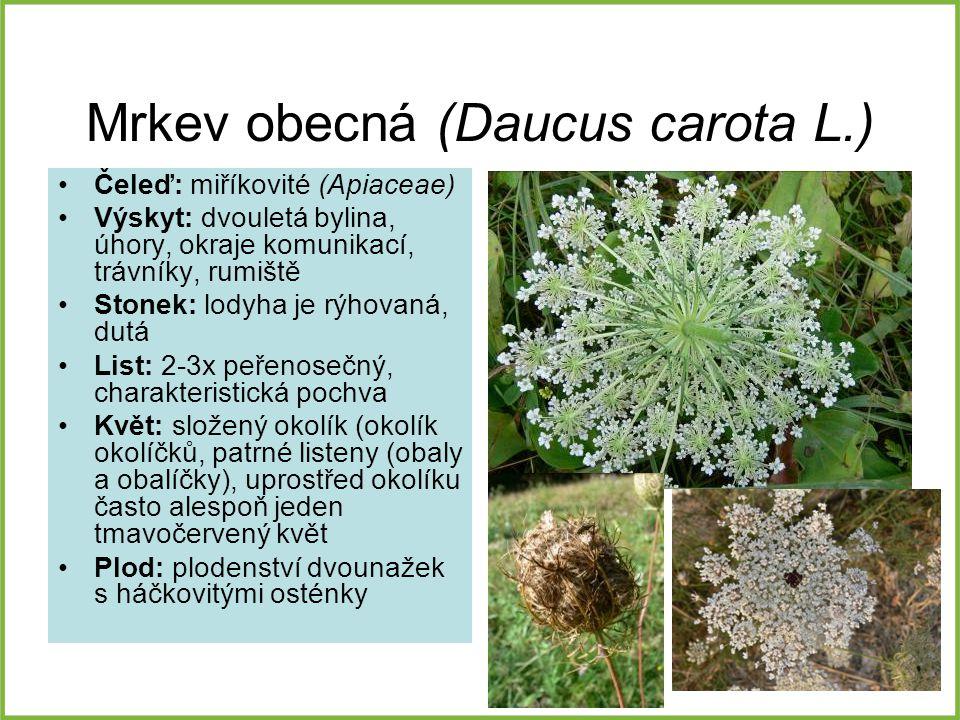 Mrkev obecná (Daucus carota L.) Čeleď: miříkovité (Apiaceae) Výskyt: dvouletá bylina, úhory, okraje komunikací, trávníky, rumiště Stonek: lodyha je rý