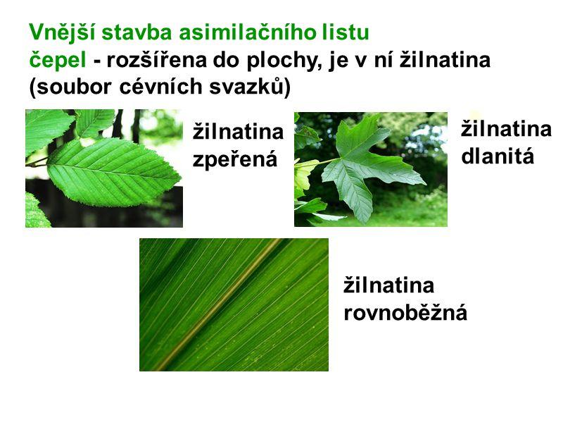 Vnější stavba asimilačního listu čepel - rozšířena do plochy, je v ní žilnatina (soubor cévních svazků) žilnatina zpeřená žilnatina dlanitá žilnatina