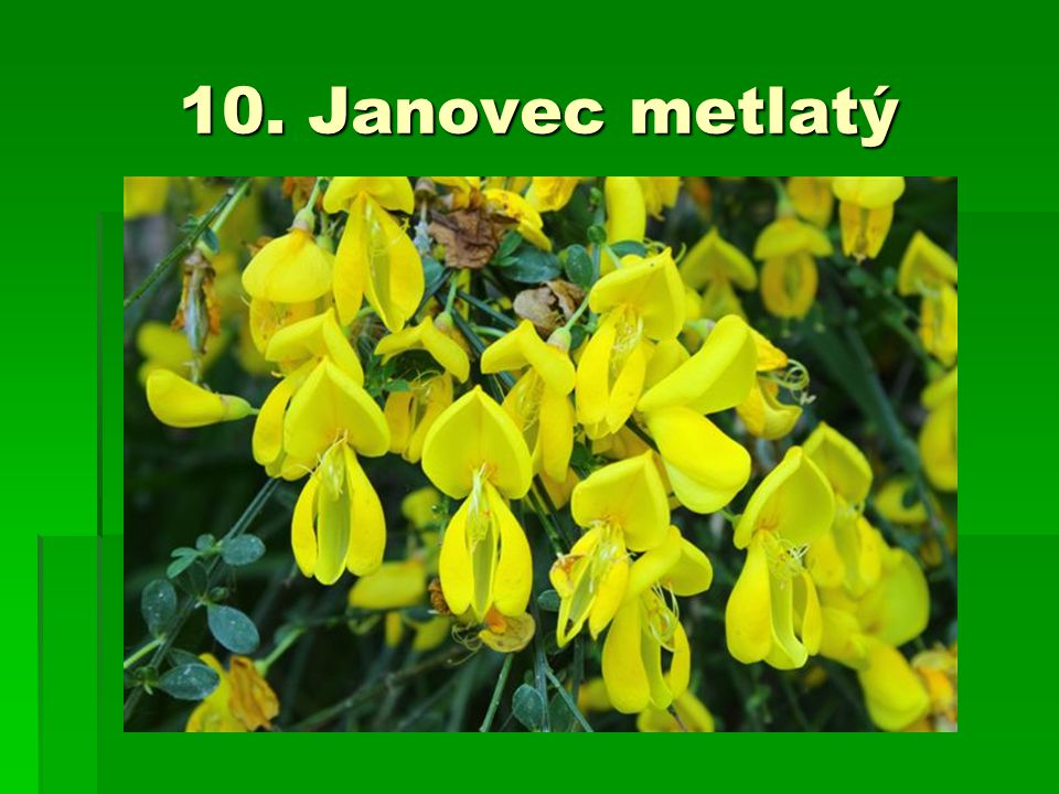 10. Janovec metlatý