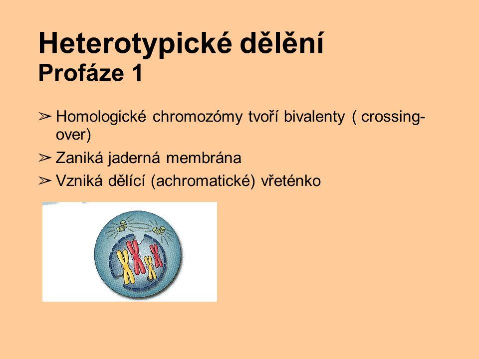 Heterotypické dělění Profáze 1 ➢ Homologické chromozómy tvoří bivalenty ( crossing- over) ➢ Zaniká jaderná membrána ➢ Vzniká dělící (achromatické) vře
