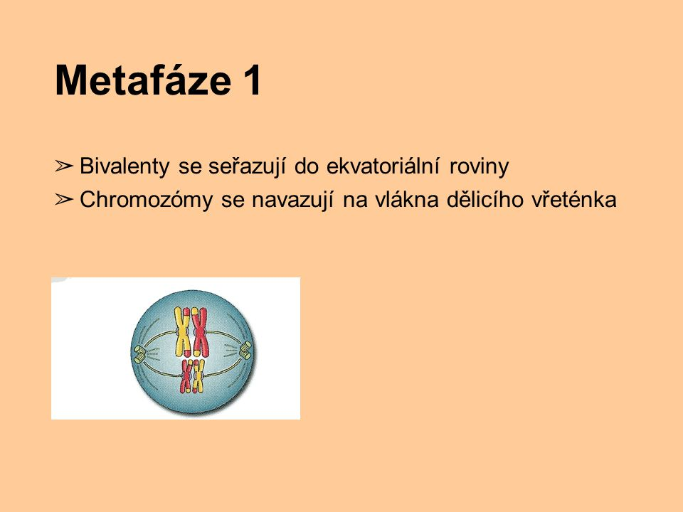 Metafáze 1 ➢ Bivalenty se seřazují do ekvatoriální roviny ➢ Chromozómy se navazují na vlákna dělicího vřeténka