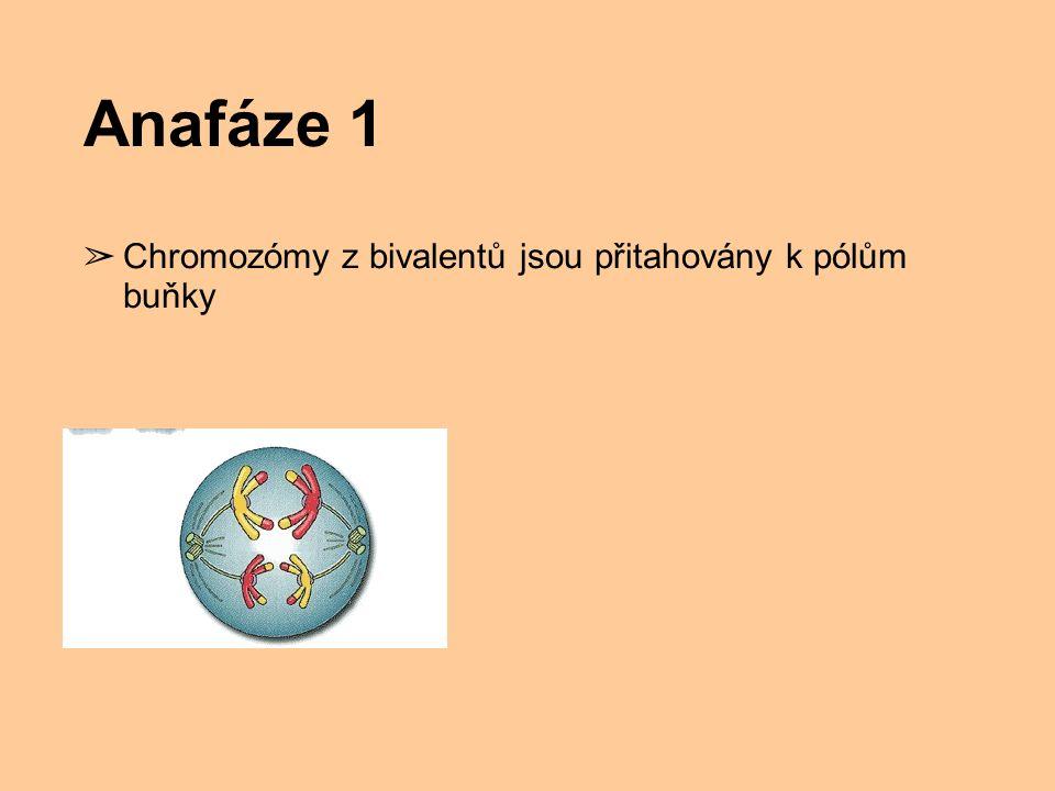 Anafáze 1 ➢ Chromozómy z bivalentů jsou přitahovány k pólům buňky