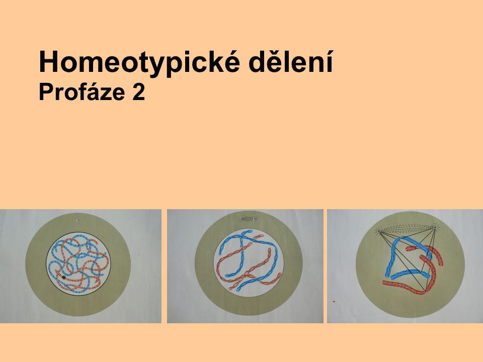 Homeotypické dělení Profáze 2