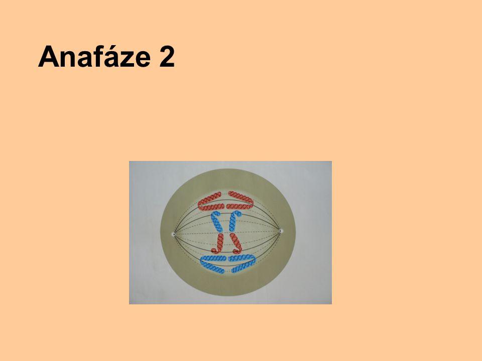 Anafáze 2