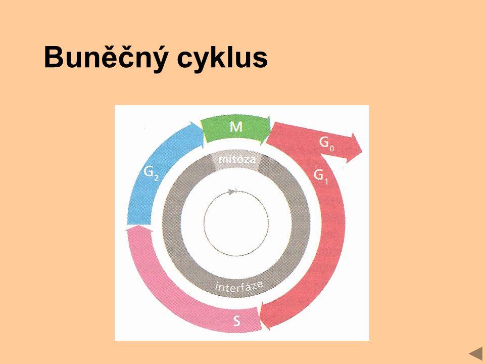 Buněčný cyklus