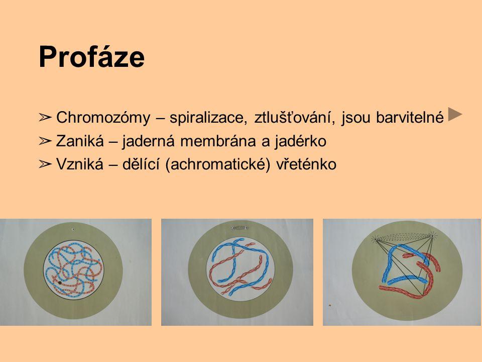 Profáze ➢ Chromozómy – spiralizace, ztlušťování, jsou barvitelné ➢ Zaniká – jaderná membrána a jadérko ➢ Vzniká – dělící (achromatické) vřeténko