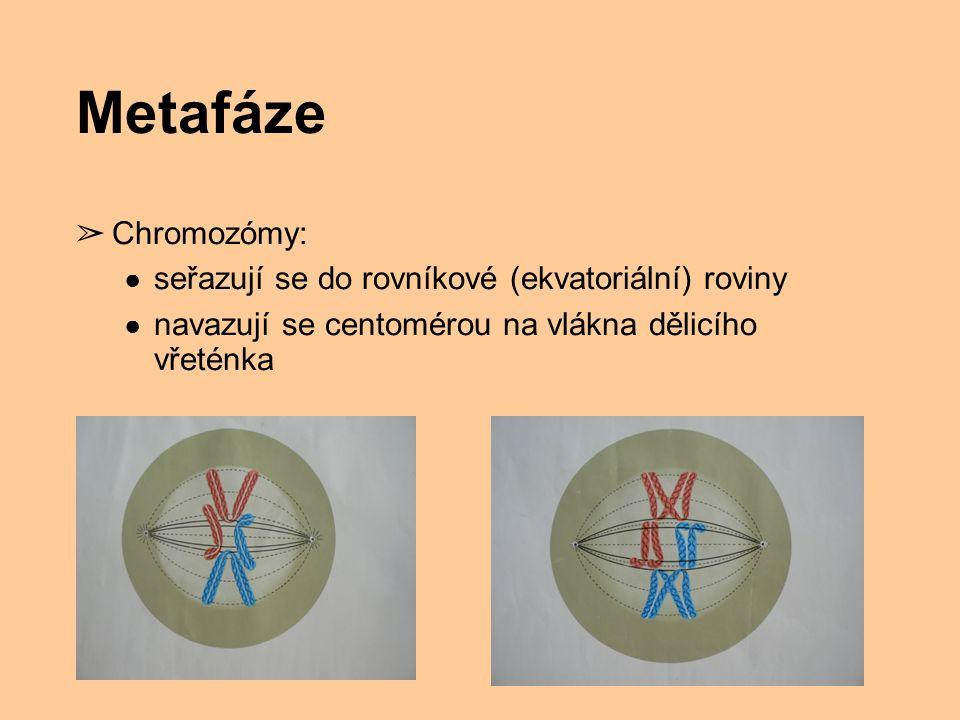 Metafáze ➢ Chromozómy: ● seřazují se do rovníkové (ekvatoriální) roviny ● navazují se centomérou na vlákna dělicího vřeténka