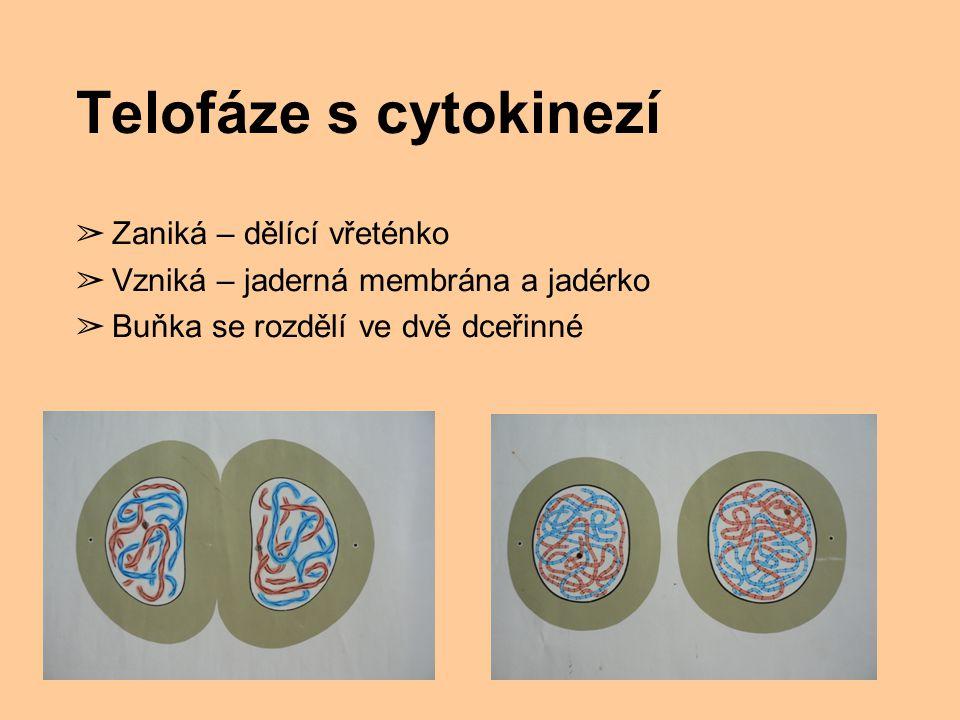 Telofáze s cytokinezí ➢ Zaniká – dělící vřeténko ➢ Vzniká – jaderná membrána a jadérko ➢ Buňka se rozdělí ve dvě dceřinné