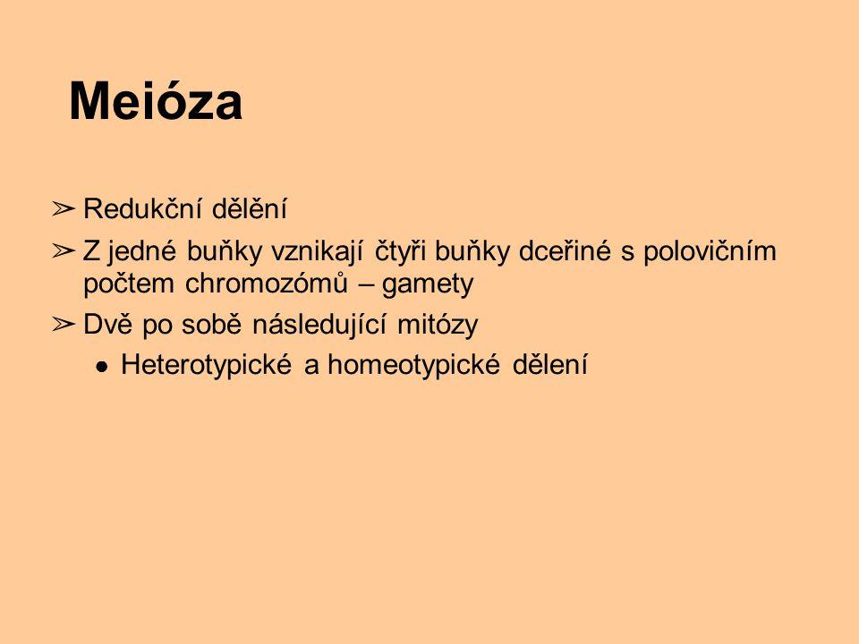Meióza ➢ Redukční dělění ➢ Z jedné buňky vznikají čtyři buňky dceřiné s polovičním počtem chromozómů – gamety ➢ Dvě po sobě následující mitózy ● Heter