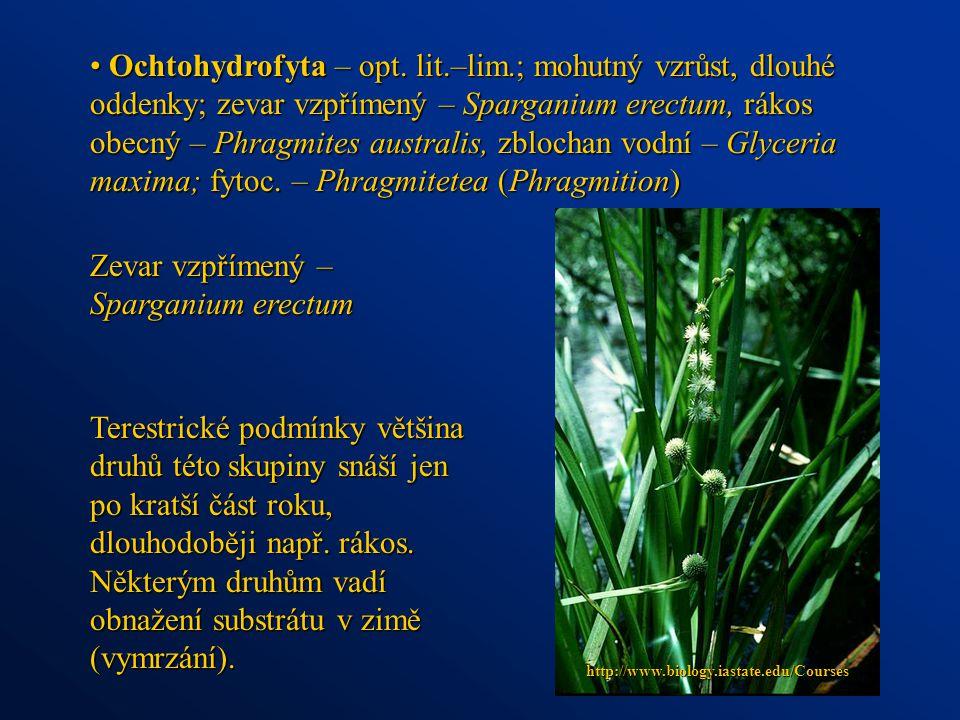 Ochtohydrofyta – opt. lit.–lim.; mohutný vzrůst, dlouhé oddenky; zevar vzpřímený – Sparganium erectum, rákos obecný – Phragmites australis, zblochan v