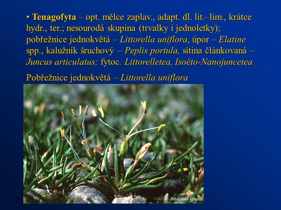 Tenagofyta – opt. mělce zaplav., adapt. dl. lit.–lim., krátce hydr., ter.; nesourodá skupina (trvalky i jednoletky); pobřežnice jednokvětá – Littorell