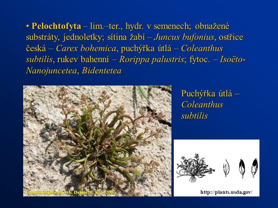 Pelochtofyta – lim.–ter., hydr. v semenech; obnažené substráty, jednoletky; sítina žabí – Juncus bufonius, ostřice česká – Carex bohemica, puchýřka út