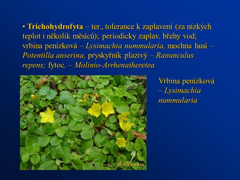 Trichohydrofyta – ter., tolerance k zaplavení (za nízkých teplot i několik měsíců); periodicky zaplav. břehy vod; vrbina penízková – Lysimachia nummul