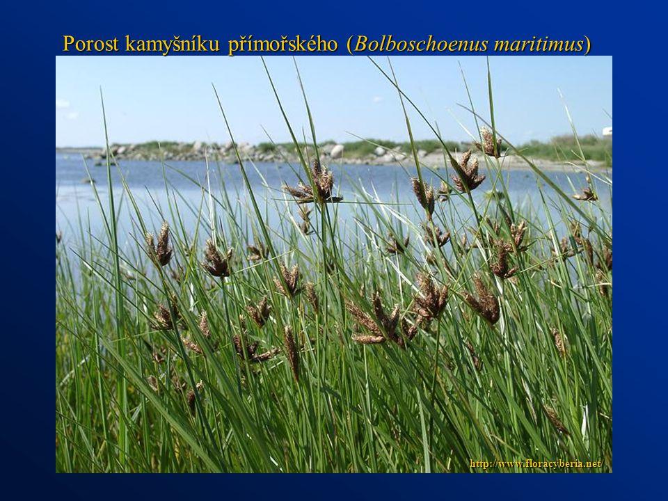 Porost kamyšníku přímořského (Bolboschoenus maritimus) http://www.floracyberia.net/