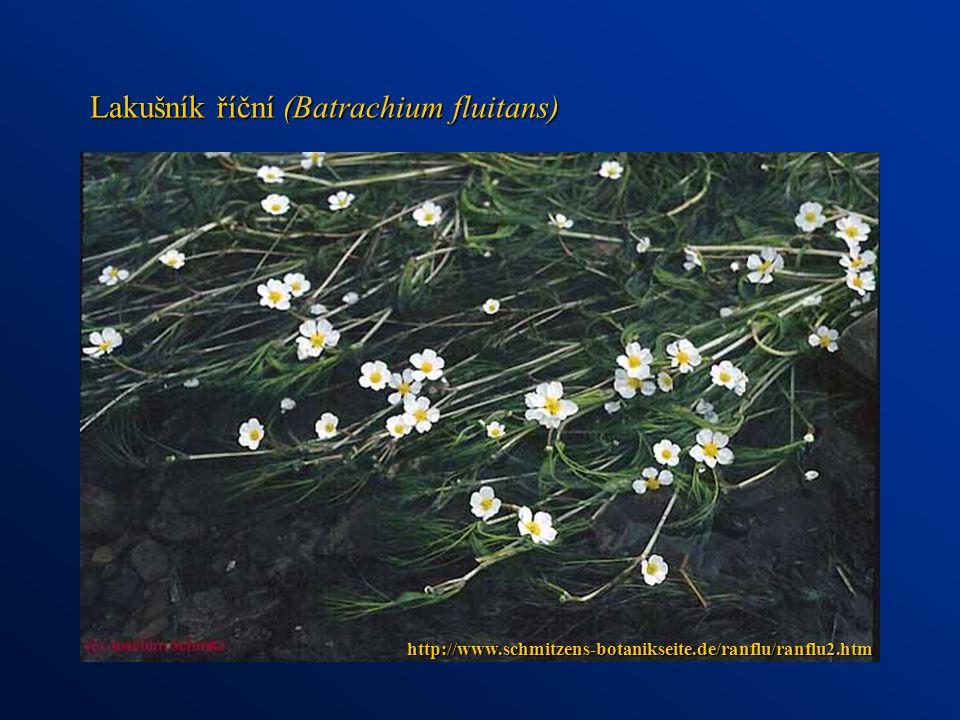 http://www.schmitzens-botanikseite.de/ranflu/ranflu2.htm Lakušník říční (Batrachium fluitans)
