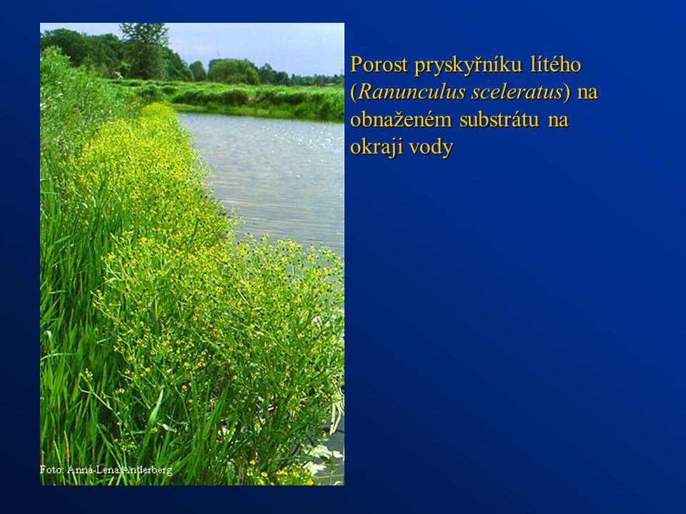Porost pryskyřníku lítého (Ranunculus sceleratus) na obnaženém substrátu na okraji vody