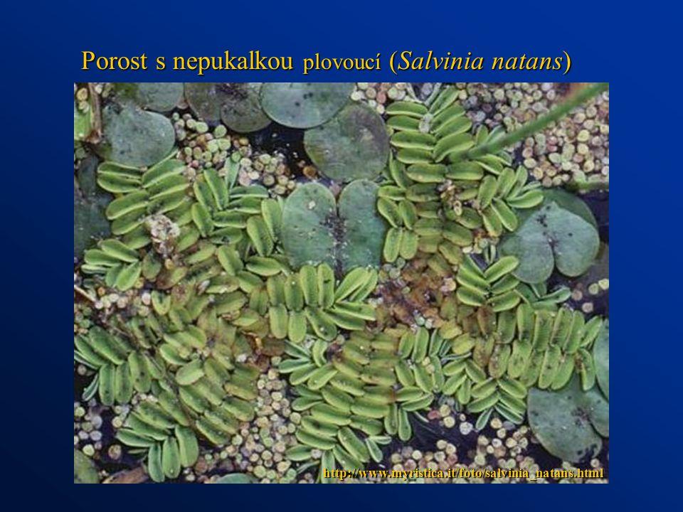 http://www.myristica.it/foto/salvinia_natans.html Porost s nepukalkou plovoucí (Salvinia natans)