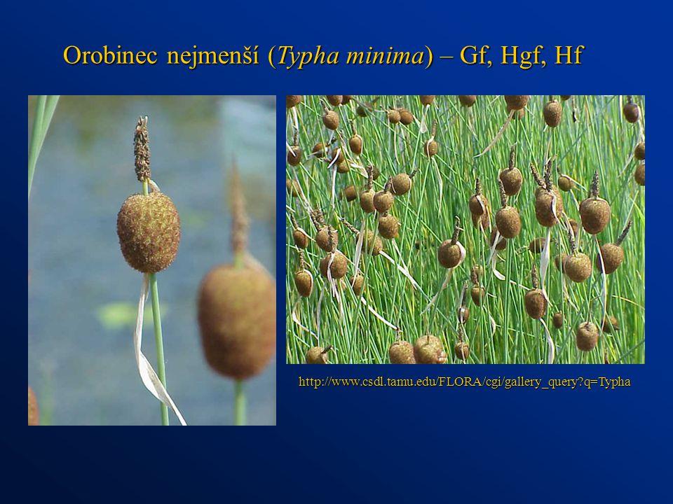 Orobinec nejmenší (Typha minima) – Gf, Hgf, Hf http://www.csdl.tamu.edu/FLORA/cgi/gallery_query?q=Typha
