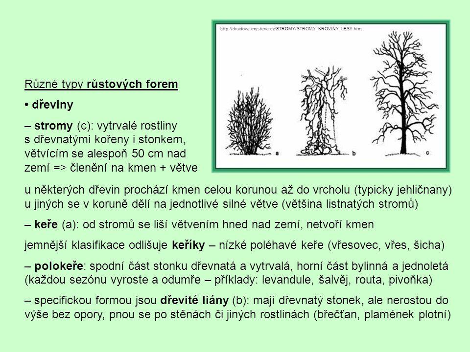 u některých dřevin prochází kmen celou korunou až do vrcholu (typicky jehličnany) u jiných se v koruně dělí na jednotlivé silné větve (většina listnatých stromů) – keře (a): od stromů se liší větvením hned nad zemí, netvoří kmen jemnější klasifikace odlišuje keříky – nízké poléhavé keře (vřesovec, vřes, šicha) – polokeře: spodní část stonku dřevnatá a vytrvalá, horní část bylinná a jednoletá (každou sezónu vyroste a odumře – příklady: levandule, šalvěj, routa, pivoňka) – specifickou formou jsou dřevité liány (b): mají dřevnatý stonek, ale nerostou do výše bez opory, pnou se po stěnách či jiných rostlinách (břečťan, plamének plotní) Různé typy růstových forem dřeviny – stromy (c): vytrvalé rostliny s dřevnatými kořeny i stonkem, větvícím se alespoň 50 cm nad zemí => členění na kmen + větve http://druidova.mysteria.cz/STROMY/STROMY_KROVINY_LESY.htm