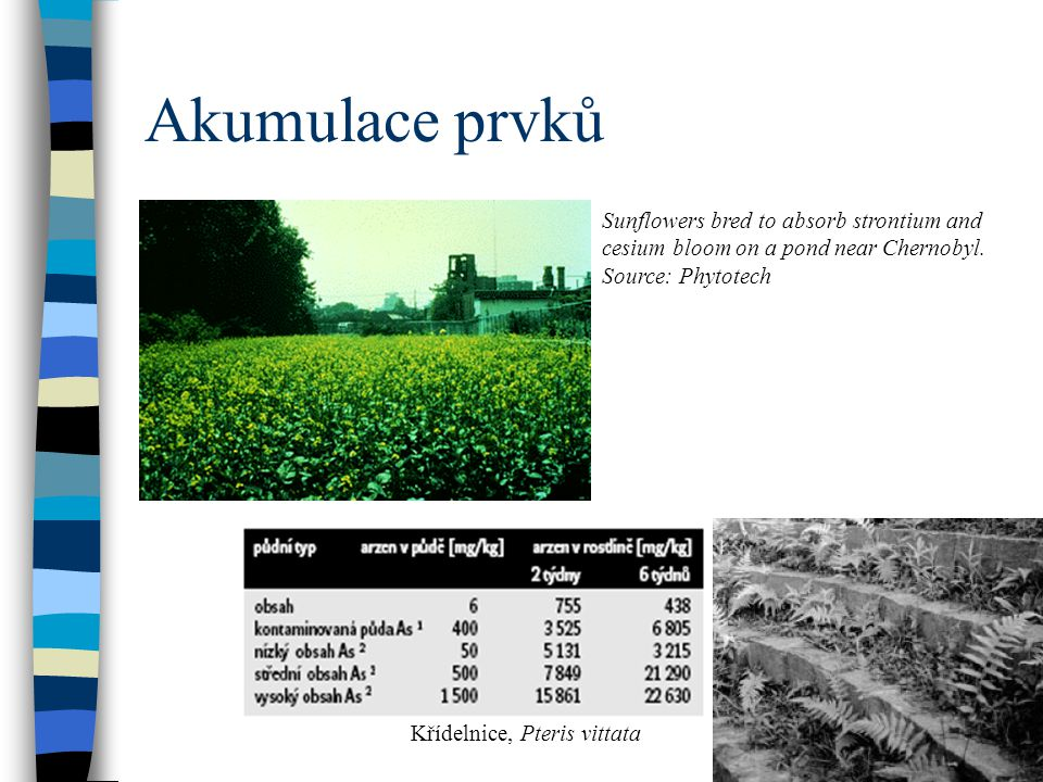 Akumulace prvků Sunflowers bred to absorb strontium and cesium bloom on a pond near Chernobyl. Source: Phytotech Křídelnice, Pteris vittata
