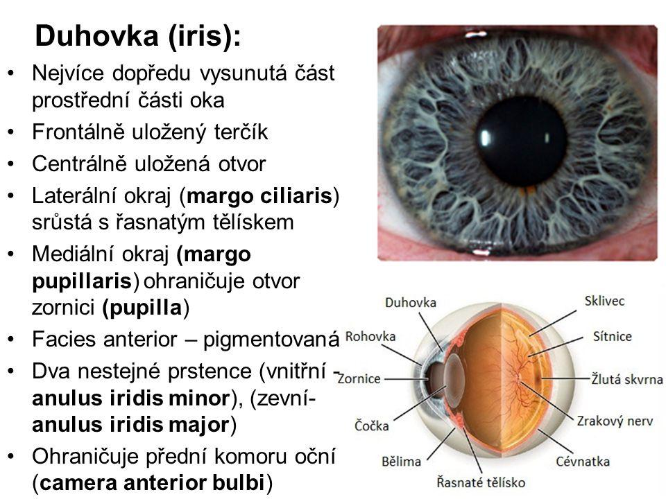 Duhovka (iris): Nejvíce dopředu vysunutá část prostřední části oka Frontálně uložený terčík Centrálně uložená otvor Laterální okraj (margo ciliaris) s